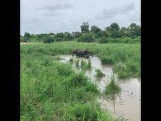 YouTube Elephant Bath, Herd Of Elephants, All Inclusive Resorts, Safari, Africa, Country Roads, Swimming, River, Explore
