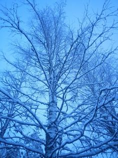Kylmät koivut