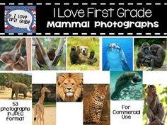 53 brilliant crisp photographs of mammals for personal or commercial use with credit.  Photos include pictures of baby monkey, 2 bat photos, 2 bear photographs, cow, howler monkey, pig, deer, dog, dolphin, elephant, elk, gazelle, giraffe, gorilla, humpback whale, 2 jaguar photos,2 kitten photographs, 2 lion photos, 3 manatee photographs, meerkat, monkey, musk ox, naked mole rat, otter, polar bear, proboscis monkey, pronghorn, rabbit, 2 raccoon photos,  rhinoceros, sea lion, otter, seal, snow leo...