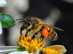 Honeybee.  Alan S Hochman Nature Photographer Spectacular views of our Insect World #looksgoodonya