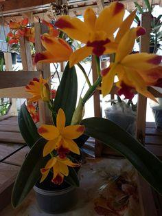 Abriu orquídea