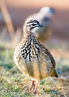 Crested Francolin par Chad Wright on South African Birds, Animals, Trek, Awesome, Beauty, Animales, Animaux, Animal, Animais