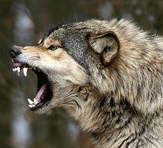 Loup féroce