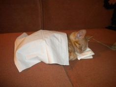 A kitten in a Kleenex bed