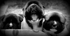 Puppies from Dan Danilo Kennel!!!! Berna x Charter :)