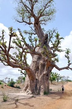 Sénégal, baobab http://www.panoramio.com/user/5360215/tags/Senegal?photo_page=3