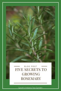 Rosemary Plant Care, Rosemary Water, Rosemary Growing, Growing Herbs, Container Plants, Container Gardening, Vegetable Gardening, Lilies Of The Field, Gardening For Beginners