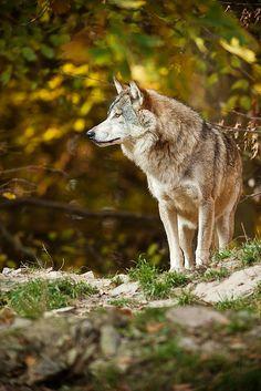 Timberwolf by Naturfotografie - Stefan Betz | Flickr*