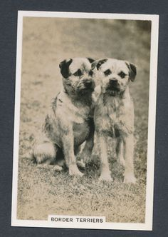 Border Terriers from series Dogs by Senior Service Cigarettes card #22