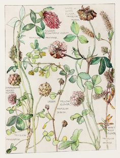 1910 Botanical Print by H. Isabel Adams: Pea Family, Clover (Common, Red, Purple, White, Dutch, Strawberry Headed, Hare's Foot, Yellow)