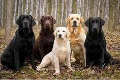 Foto: THE TOP 10 DOG BREEDS OF 2013, 2014 AND 2015!   LABRADOR RETRIEVER IS ONCE AGAIN AMERICA'S MOST POPULAR DOG  For the 25th consecutive year, the family-friendly Labrador Retriever is the most popular dog in America, according to 2015 AKC registration stats. Labs are currently the top dogs, French Bulldogs and a few other breeds are moving their way up the list.    BREED. 2015 2014 2013  RETRIEVERS (LABRADOR) 1. 1. 1.  GERMAN SHEPHERD DOGS 2. 2. 2.  RETRIEVERS (GOLDEN) 3. 3. 3  BULLDOGS…