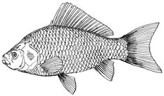 fish drawing - Google Search