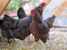 Clicker Training Chickens