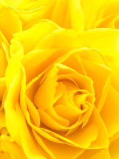c-a-n-d-y—k-i-s-s-e-s:  CANDY KISSES: Yellow rose