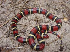 snakes in mississippi   Non-venomous snakes (non-poisonous snakes)
