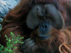Teak the Orangutan