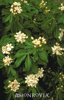 Monrovia's Mexican Orange Blossom details and information. Learn more about Monrovia plants and best practices for best possible plant performance.
