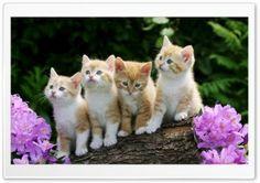 Kittens HD Wide Wallpaper for Widescreen