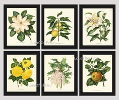 Botanical Flower Print Set of 6 Prints Antique Beautiful White Lily Grapes Fruit Magnolia Yellow Rose Apple Spring SUmmer Garden Nature Home Room Decor Wall Art Unframed. Beautiful set of 6 prints based on antique botanical illustrations from 1860. Wonderful details, colors and natural history feel. • The prints measure 4x6, 5x7, or 8x10 inch. based on your selection come with a white border for easy framing. • Printed on professional artist archival matte paper. • The prints are part of...