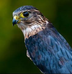 Merlin Bird | Merlin, Identification, All About Birds - Cornell Lab of Ornithology