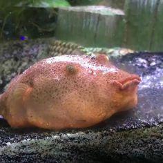 A congo puffer fish? Funny Animal Videos, Cute Funny Animals, Animal Memes, Beautiful Creatures, Animals Beautiful, Fish Care, Doja Cat, Ocean Creatures, Beautiful Fish