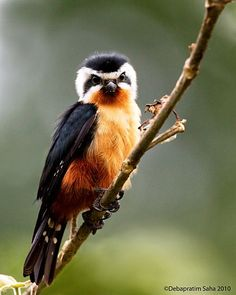 The Collared Falconet (Microhierax caerulescens) is a species of bird of prey in the Falconidae family.  It is found in the Indian Subcontinent and Southeast Asia, ranging across Bangladesh, Bhutan, Cambodia, India, Laos, Myanmar, Nepal, Thailand, Malaysia, and Vietnam. Its natural habitat is temperate forests.