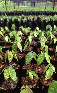 cacao tree seedlings at a nursery in Venezuela