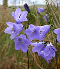 Harebell - Native to Maine, full or partial sun