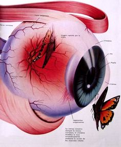 Eye Anatomy, Anatomy Art, Medical Art, Medical Science, Human Eye Drawing, Hiit Workout Videos, Medicine Notes, Human Body Organs, Acupressure Treatment