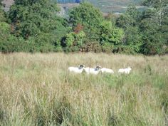 Sheep a-grazin' in among Mesolithic ancient ground.... this scene could be from any time in the past 2500 years, and that pleases me greatly