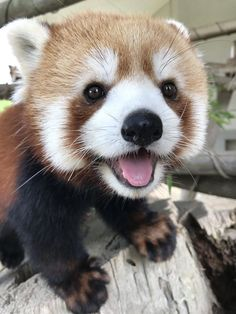 The most photogenic red panda. - The most photogenic red panda. The most photogenic red panda. Cute Little Animals, Cute Funny Animals, Happy Animals, Animals And Pets, Wild Animals, Pinterest Cute, Tier Fotos, Cute Creatures, Animal Memes