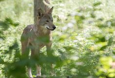 Red wolf at Endangered Wolf Center, a Red Wolf Species Survival Plan participant. Photo credit theirs.