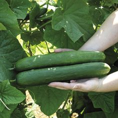 Sweet Success is a truly seedless, burpless garden cucumber so high-performing it won an AAS award. Slender, 14-inch fruits are terrifically flavorful and free of bitterness, with thin, smooth skin.
