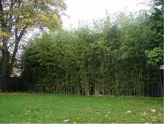 Bamboo Sound Barrier - Phyllostachys heteroclada Sound barriers using bamboo screens:  Bamboo can create superb sound barriers, drowning out noisy streets, schools and noisy neighbors, but remember, the screen must be dense and at least 3 to 8 feet wide, depending on the cause of the noise.