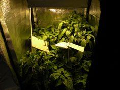 La mia coltivazione indoor - 2 mesi dalla germinazione - per le piante tipo Scotch Bonnet e Habanero che prediligono una mezza esposizione al sole ho applicato degli ombrellini di cartone che proteggono la cima delle piante dove le foglie sono più sensibili.