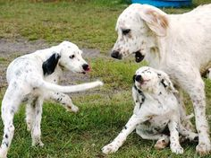 About Dog English Setter: Is Your English Setter Potty Trained Enough?