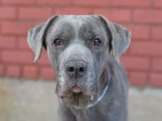 SUPER URGENT BUSH – A1034386 **Emaciated, Sweet Cane Corso NEEDS TO LEAVE FOR FOLLOW UP VET CARE BY TOMORROW! PLEASE PLACE ASAP!** 6 years, Cane Corso, Male, Owner Surrender, 77 pounds Initial 04/26: scan negative, intact male, very thin – emaciated, dull, yellow teeth, coat has dandruff, slightly red eyes, ears have a high smell Dog List, Save Animals, Pet Life, Cane Corso, Red Eyes, Dandruff, Shelter Dogs, Baby Dogs, Pet Health