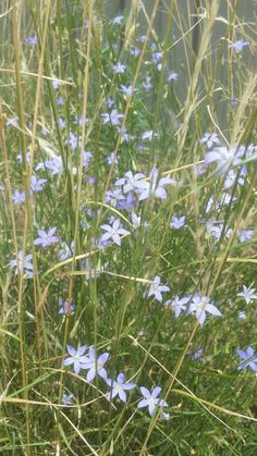 Wahlenbergia communis Tufted Bluebell an indigenous wildflower among Wallaby Grass in my backyard. Melbourne Australia. [xpost from r/australianplants] #gardening #garden #DIY #home #flowers #roses #nature #landscaping #horticulture
