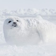 """817.8k Likes, 4,225 Comments - National Geographic (@natgeo) on Instagram: """"Photo by @CristinaMittermeier // To photograph this baby harp seal, I sheltered myself behind an…"""""""