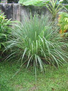 Lemon Grass Tea by The Herbal Gardens of South Florida Inc., http://www.amazon.com/dp/B000LE4DV2/ref=cm_sw_r_pi_dp_8tgzrb1EYNQ5C