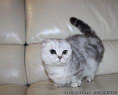 siamese munchkin cat for sale Cute Baby Animals
