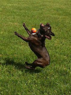 Darf ich vorstellen? Der vermutlich einzige Hund auf diesem Planet, der es nicht schafft einen Ball mit seinem Maul zu fangen. Da muss der kleine Hund wohl noch etwas auf der Wiese üben.  | unfassbar.es