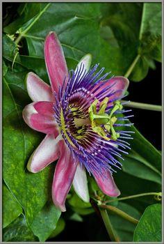Mic-UK: A Close-up View of a Hybrid Passion Flower Passiflora belotti