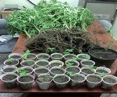 DICAN ocupa 40 plantas de marihuana en Santiago
