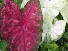 """Caladium varieties of """"Miss Chicago"""" and """"Ivory"""" pictured in partial shade- available through Spaulding Bulb Farm. Garden, gardening ideas, tropical plants, fairy gardens, urban gardening, container gardening. Caladium, caladium gardening, aroids, unique caladiums, caladium bulbs, landscaping, potted plants, potted caladiums, tropical perennial, elephant ears, artisan farm, florist, floral arrangements, floral design."""