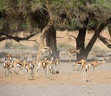Springbok 'pronking' ear the Hoanib River! Wildlife at Hoanib Skeleton Coast Camp Mountain Zebra, Namib Desert, African Elephant, Countries Of The World, Continents, Wilderness, Touring, Skeleton, Safari