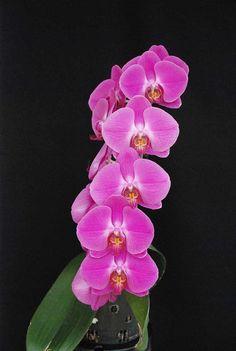 Moth-orchid: Phalaenopsis Abendrot 'Cheng' - OSCOV: Ochid Societies Council of Victoria Inc., Australia