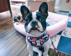french bulldog frenchie pug cotton fabric cartoon pink Dog