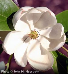 Magnolia tree for my yard.  Order from the Arbor Day Foundation $10.50