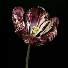 Adonis tulip, carrier of tulip breaking virus.